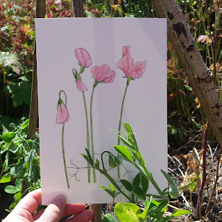 Sweet Pea modern botanical illustration original by Alice Draws The Line
