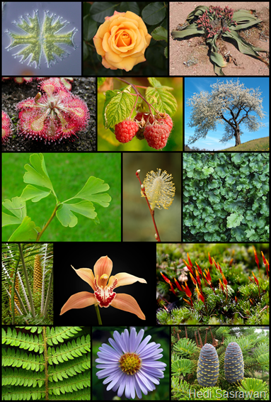 Divisi kingdom plantae (tumbuhan)