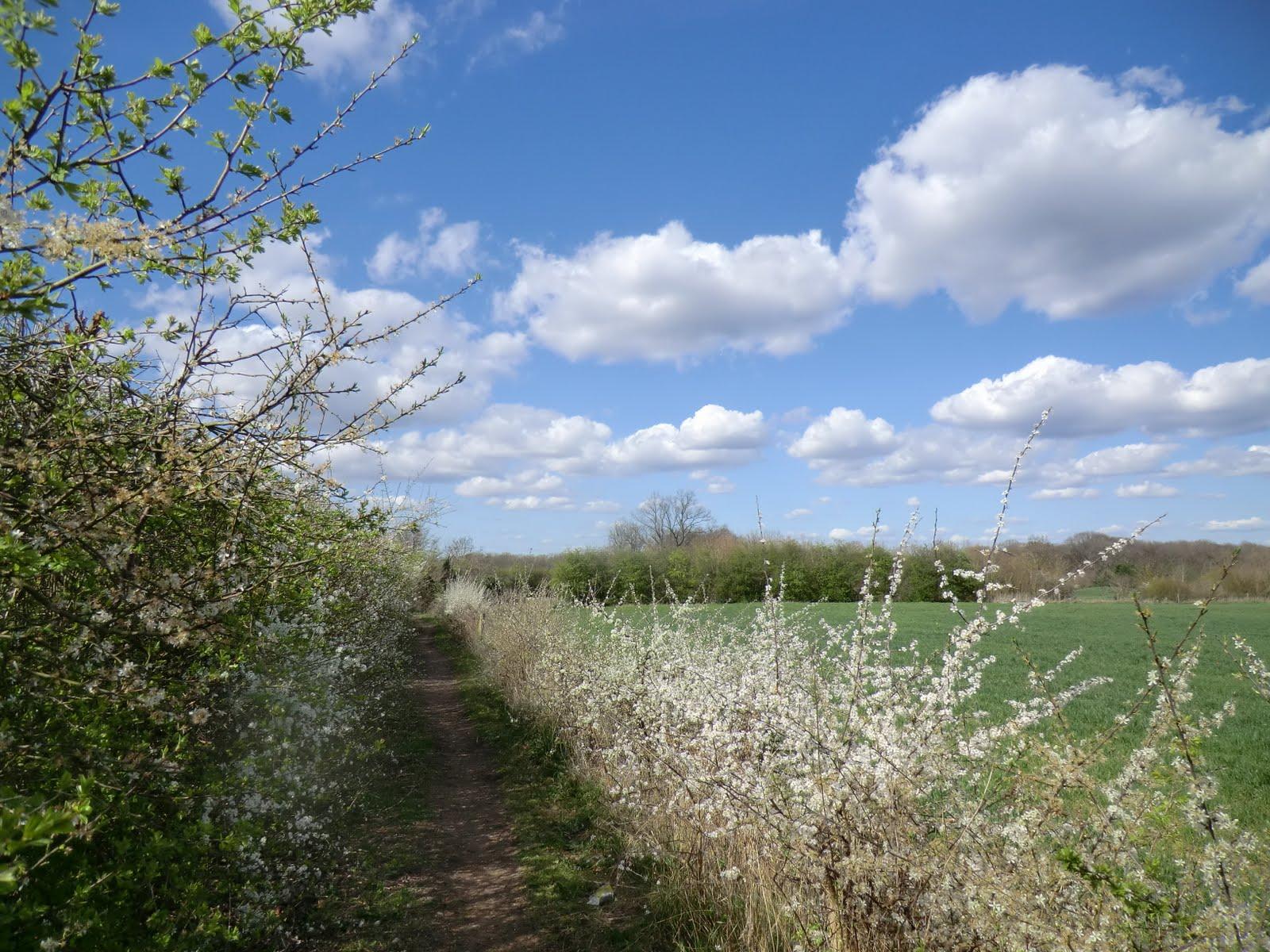 CIMG7583 Blackthorn hedge, Old Farleigh Road