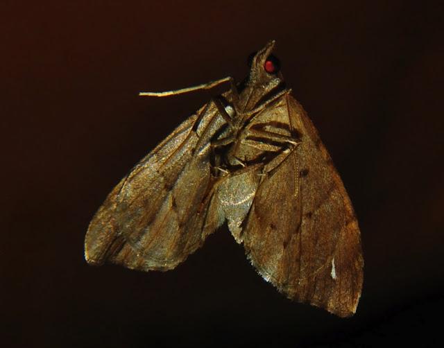 Geometriade : Larentiinae : Asthenini : Chaetolopha oxyntis MEYRICK, 1891, verso. Umina Beach (NSW, Australie), 23 octobre 2011. Photo : Barbara Kedzierski