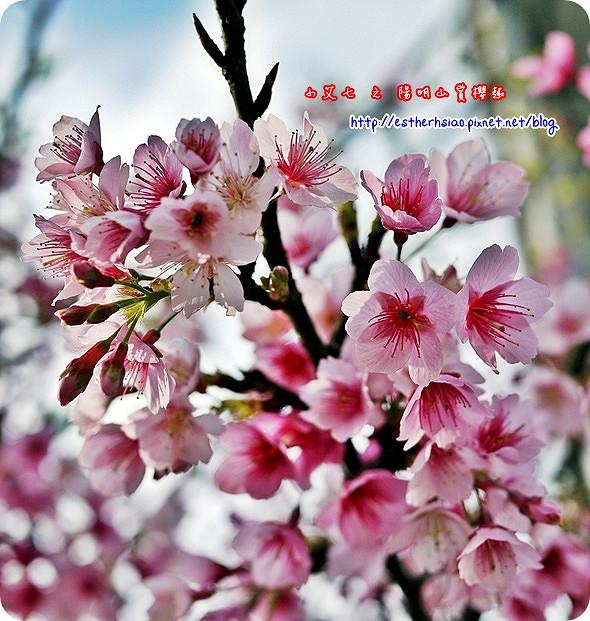 66 平菁街42巷櫻花樹
