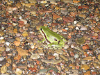 Arizona treefrog visiting our camp in a thunderstorm (Photo by J. Davis)