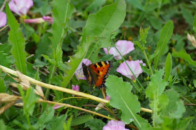 Aglais urticae LINNAEUS, 1758. Hautes-Lisières (Rouvres, 28), 10 juin 2010. Photo : J.-M. Gayman