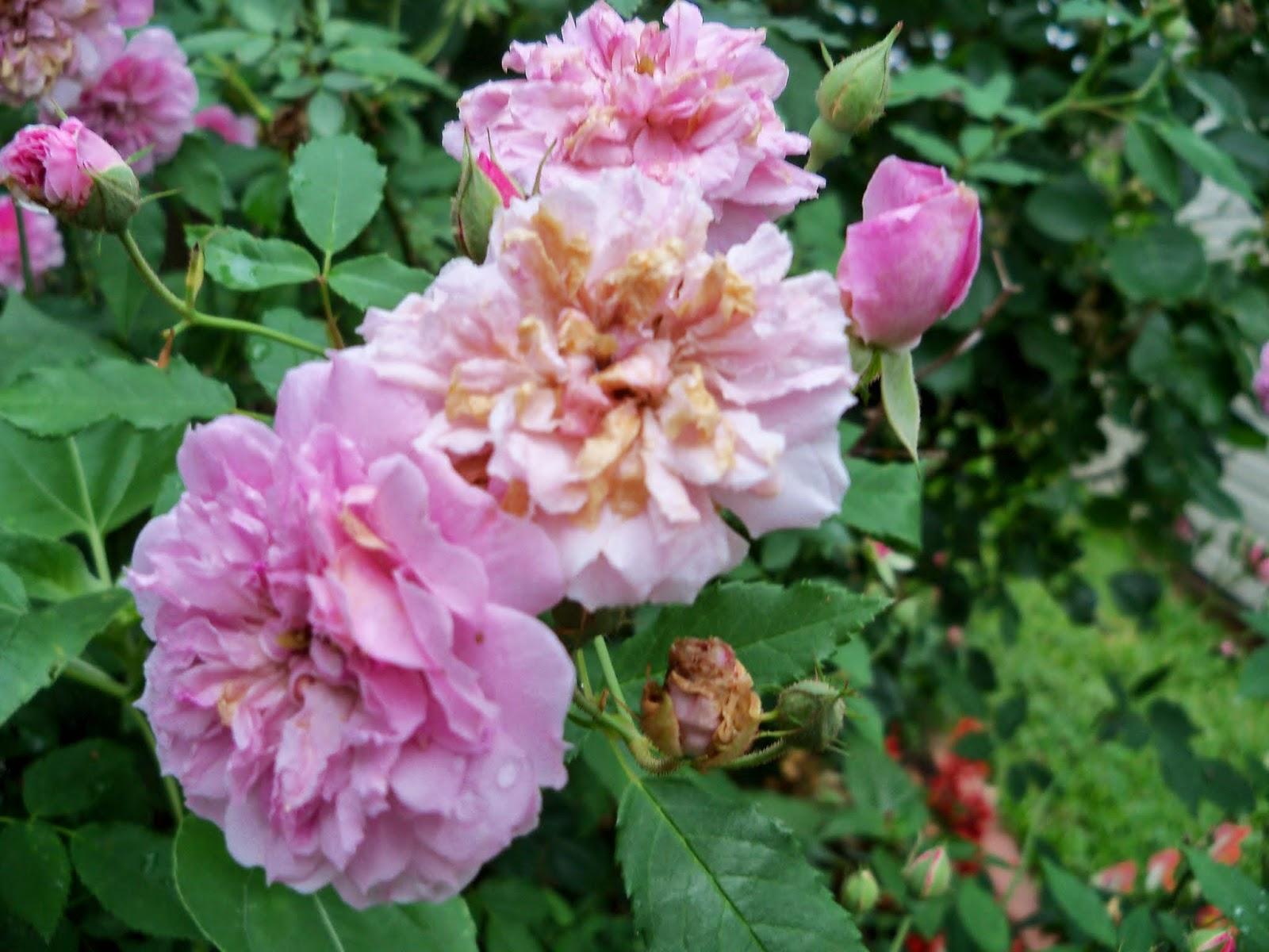 Gardening 2014 - 116_1827.JPG