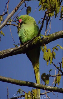 Rose-ringed Parakeet - Amsterdam. (c) copyright Shelley Banks, all rights reserved.