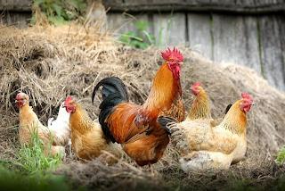 Cara Merawat Ayam Mangon Paling Efektif