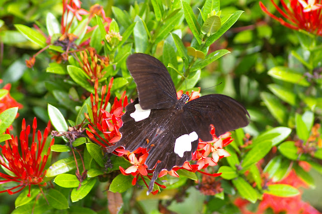 Papilio helenus enganius DOHERTY, 1891. Gomantong (Sabah), 14 août 2011. Photo : J.-M. Gayman