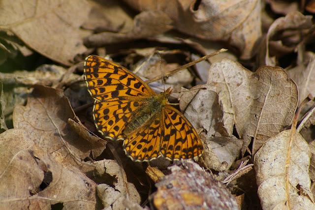 Clossania dia L., 1767, mâle. Les Hautes-Lisières (Rouvres, 28), 30 juin 2011. Photo : J.-M. Gayman