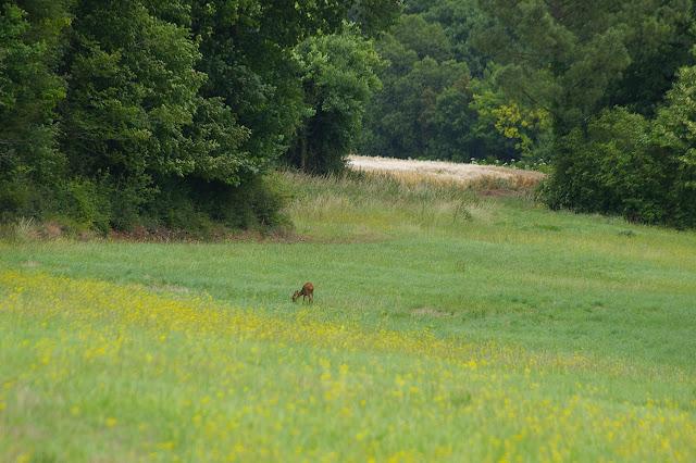 Jeune biche. Les Hautes-Lisières (Rouvres, 28), 21 juin 2011. Photo : J.-M. Gayman