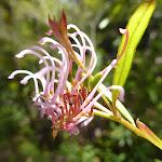 pink spider flower (Grevillea sericea) (376322)