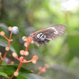 "Heliconius erato leda STAUDINGER, 1896 (?), marqué ""612"" pour étude. Camp Patawa, Montagne de Kaw (Guyane). 15 novembre 2011. Photo : M. Belloin"
