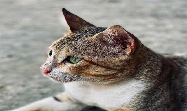 common cat illnesses and symptoms,how to tell if a cat has diseases,feline illnesses and symptoms,what are some cat illnesses