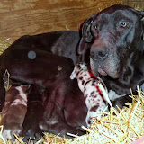 Gigi & her puppies @ 2 weeks