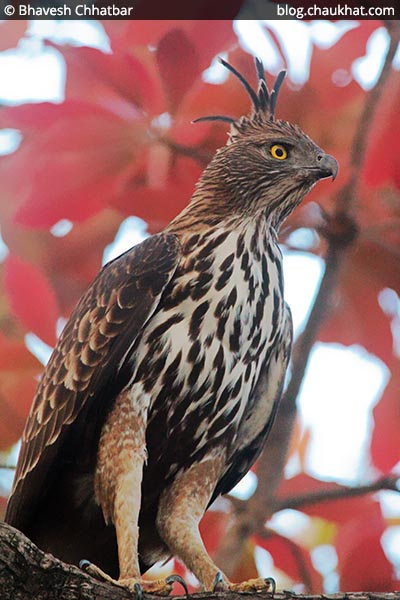 Changeable Hawk-Eagle [Crested Hawk-Eagle]