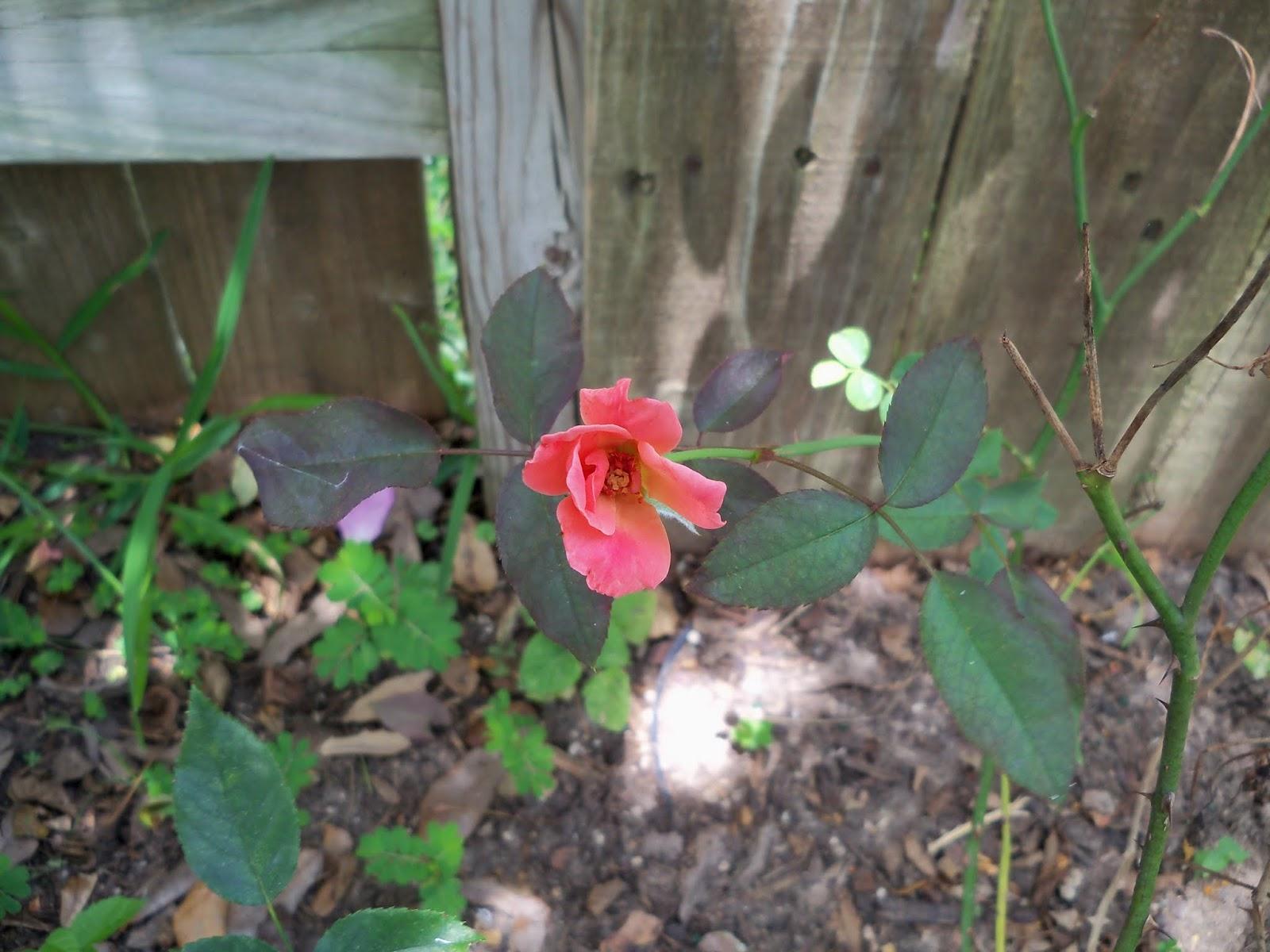 Gardening 2015 - 116_9415.JPG
