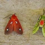 À gauche : Hyperthaema sanguineata Walker, 1865. À droite : Symphlebia herbosa Schaus, 1910. Mount Totumas, 1900 m (Chiriquí, Panamá), 21 octobre 2014. Photo : J.-M. Gayman