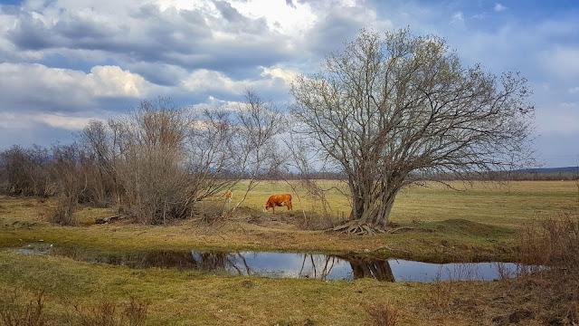 Корова в Торах