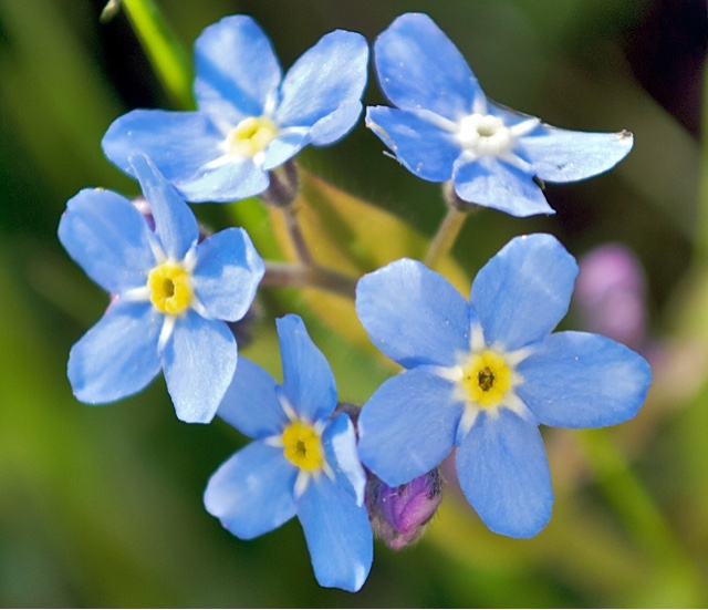 https://en.wikipedia.org/wiki/September#/media/File:2008-05-04_at_18-26-44-Forgetmenot-Flower.jpg
