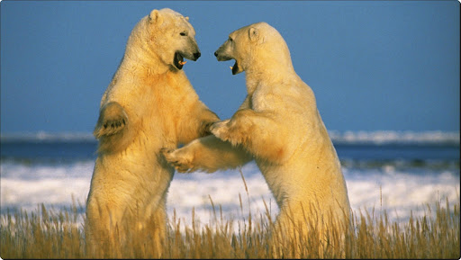 Sparring Polar Bears, Churchill, Manitoba, Canada.jpg