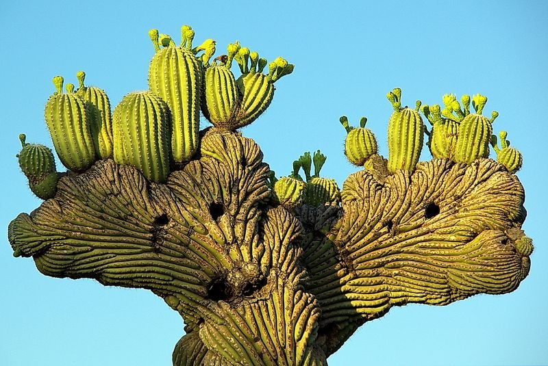 crested-saguaros-4