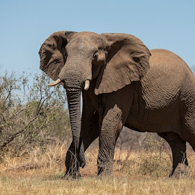 Elephant by Ronnie Bergström - Animals Other Mammals ( nature, natural light, tree, south africa, nikon, mammals, blue, grass, animal, animals, elephant, wild, wild animal, lights, wildlife )