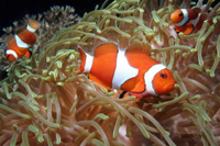 clown fish in Bituon Beach, Guindulman, Bohol