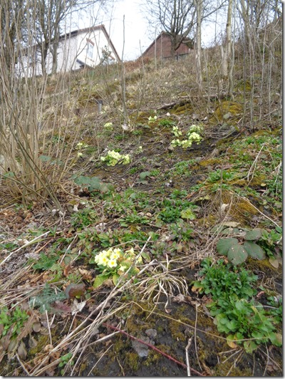 Primroses at Embankment Coppice 17th March