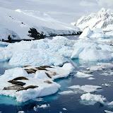 Crab-Eater Seals, Peterman Island, Antarctic Peninsula.jpg