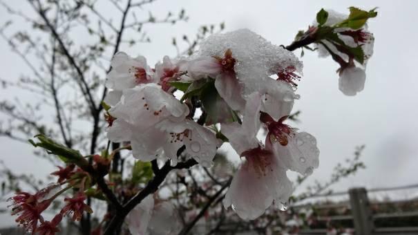 季節外れの雪と桜
