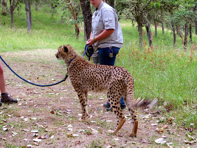 On the Cheetah Walk at Wildlife Safari. Our Ambassador Cheetah tail is twitching with curiosity and interest