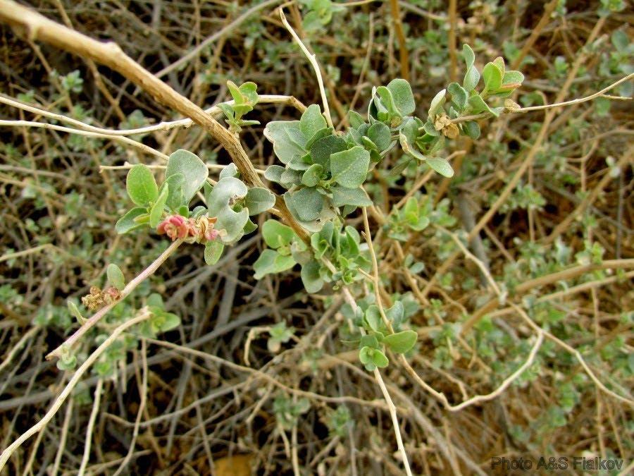 Цветы пустыни Негев, Малуах (лебеда).