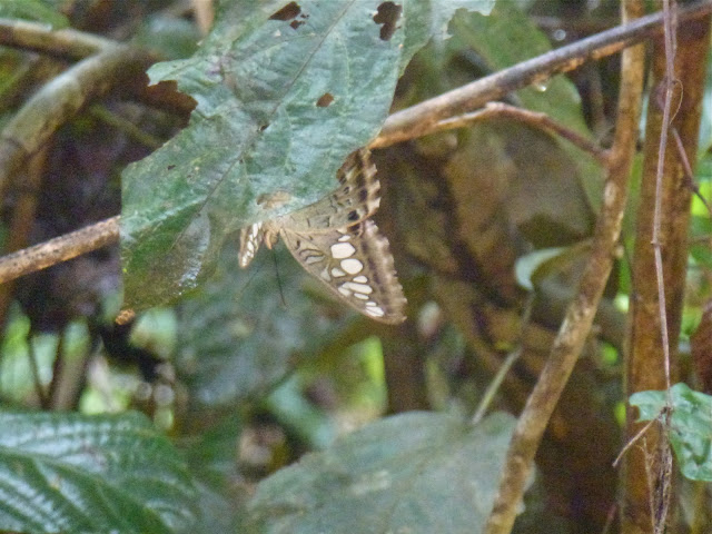 Parthenos sylvia borneensis STAUDINGER, 1889. Sukau, 15 août 2011. Photo : J.-M. Gayman
