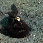 Frogfish (Lembeh)