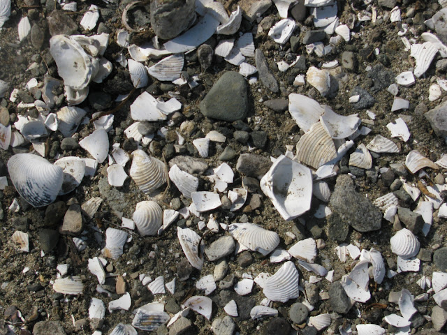 clam shells in the road way