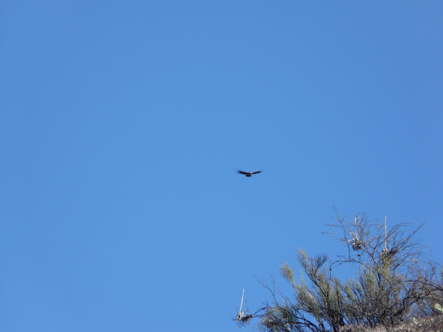 That's apparently a condor from far away--we heard that they have a 4 meter wingspan