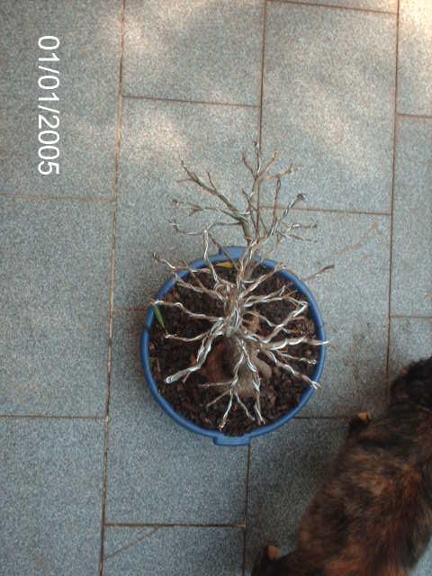 Ficus Nerifolia, Uma raiz de 3 anos... PICT0979