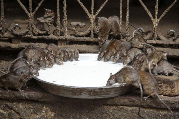 Karni Mata, o templo dos ratos na Índia