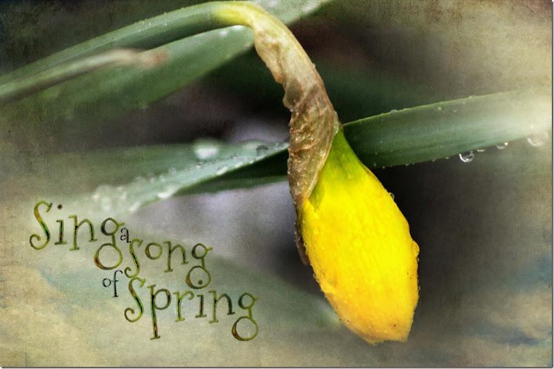 daffodil spring 1