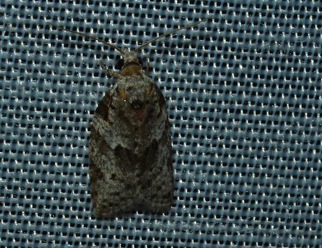 Probablement : Tortricidae : Tortricinae : Epitymbia eudrosa TURNER, 1916. Umina Beach (N. S. W., Australie), 3 janvier 2012. Photo : Barbara Kedzierski