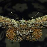 Geometridae : Geometrinae : Hypodoxa muscosaria GUÉNÉE, 1857. Umina Beach (NSW, Australie), 16 octobre 2011. Photo : Barbara Kedzierski