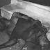 PERROS PITBULL DEJAN POR MUERTO LADRÓN EN SAN FRANCISCO DE MACORIS.