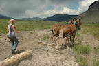 Pulling logs with Babe & Pepe to build a turnpike across the Yellowstone Meadows