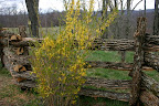 Forsythia...and our new handhewn locust fence. A work of art.