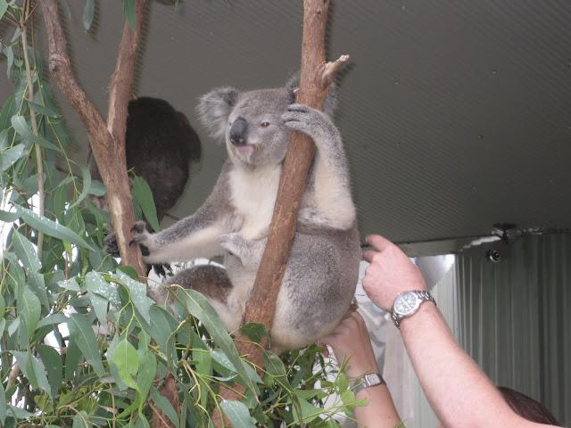 A Koala at the Sydney Wildlife Exhibit