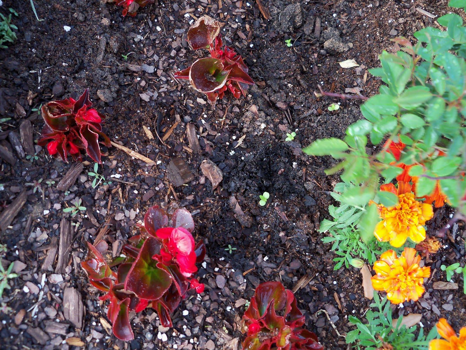 Gardening 2010 - 101_0925.JPG