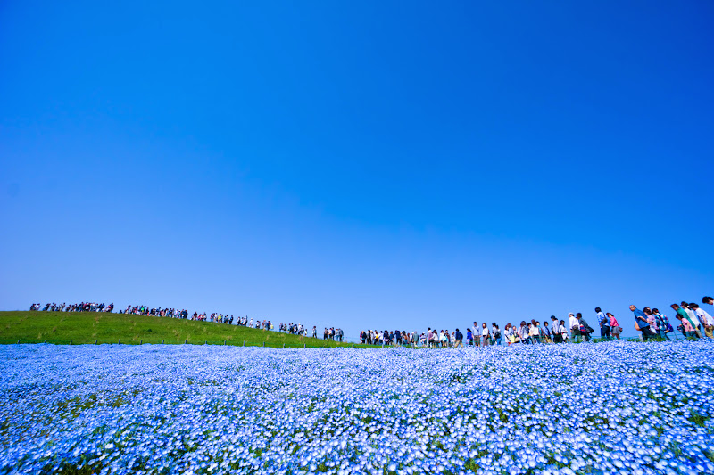 Hitachi Seaside Park Nemophila (baby blue eyes flowers) photo15