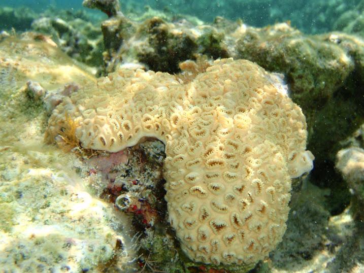 Palythoa caribaeorum (White Encrusting Zoanthid Coral) near Tranquility Bay Resort.