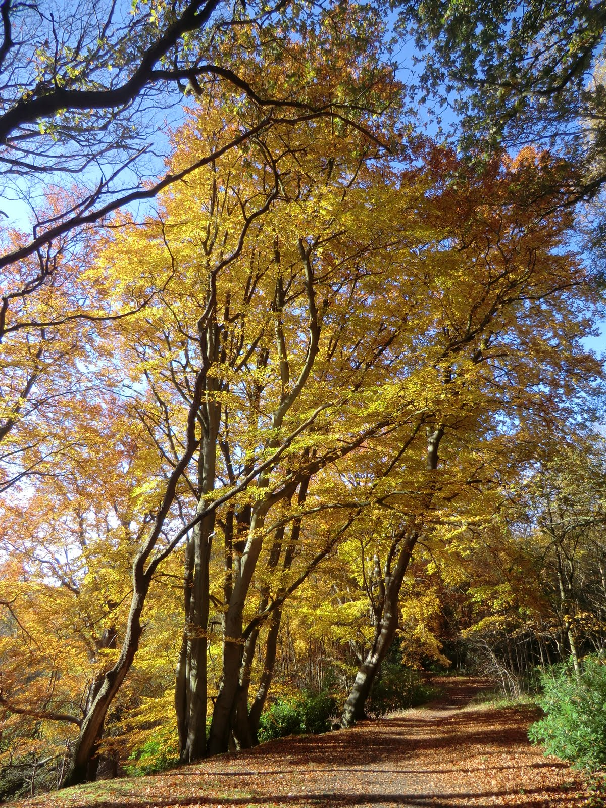 CIMG4923 Beech Hill in autumn
