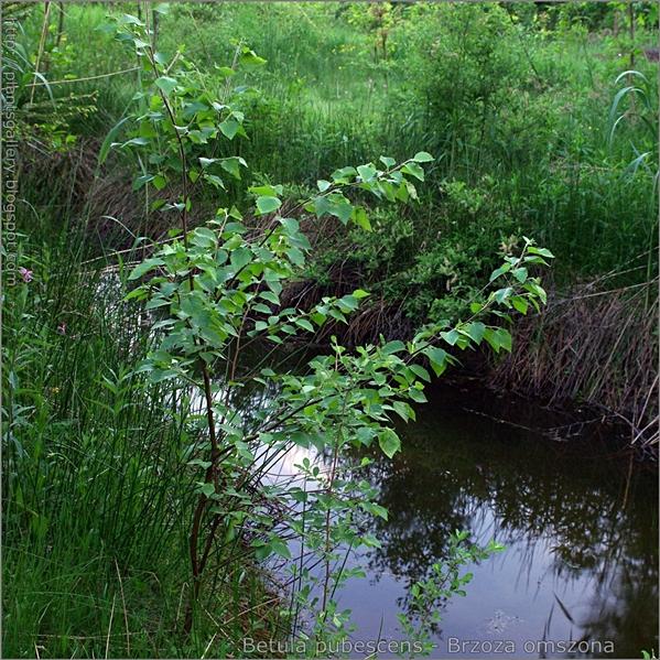 Betula pubescens - Brzoza omszona pokrój młodej rosliny