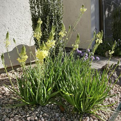 La bulbine una planta milagrosa despu s de un d a de sol for Una planta ornamental